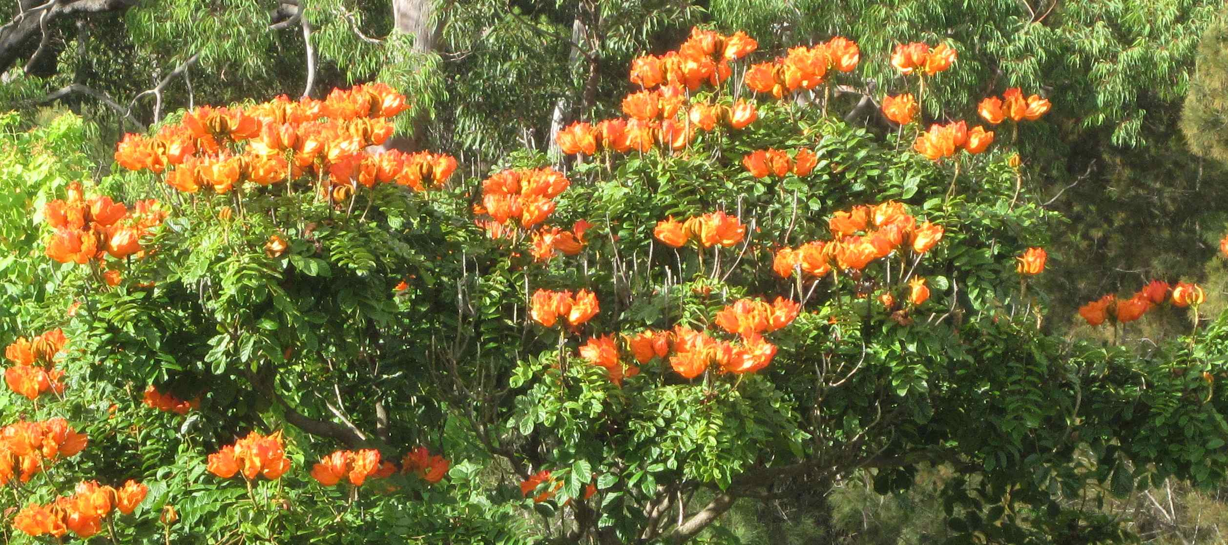 IMCNSW: African Tulip Tree (Spathodea campanulata) April 2012